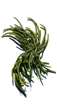Marsh Samphire